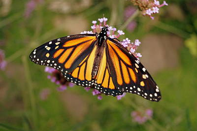 Monarch Butterfly Poster by Beth Collins