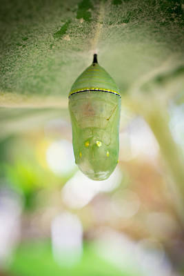 Monarch Butterfly Chrysalis Poster by Priya Ghose