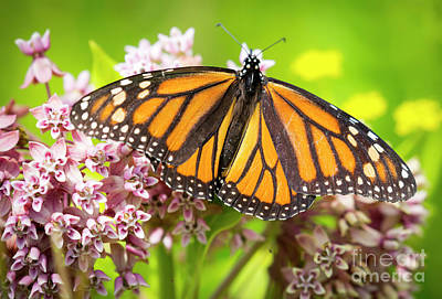 Poster featuring the photograph Monarch Butterfly Closeup  by Ricky L Jones