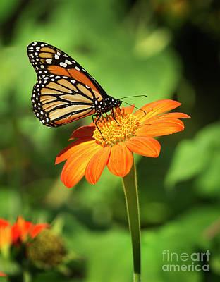 Monarch Butterfly II Vertical Poster