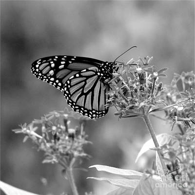 Poster featuring the photograph Monarch Butterfly In Bw by Laurinda Bowling