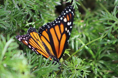 Monarch Butterfly In Lush Leaves Poster