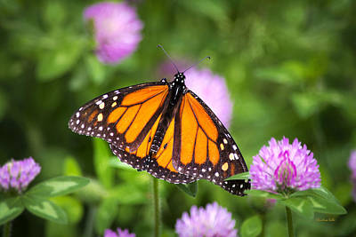 Monarch Butterfly On Bright Pink Clover Flowers Poster