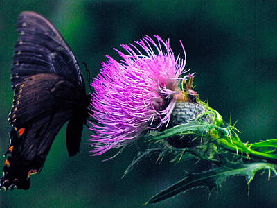 Monarch Butterfly On Milk Thistle Poster