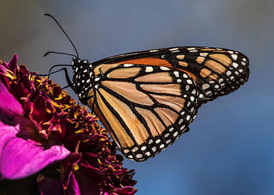 Monarch Butterfly On Pink Dahlia Poster by Dawn Key