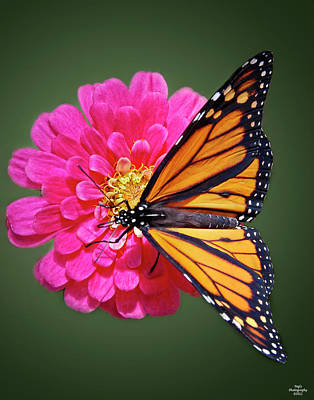 Monarch Butterfly On Pink Flower Poster
