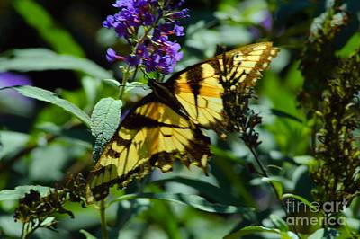Swallowtail Butterfly Poster by Robyn King