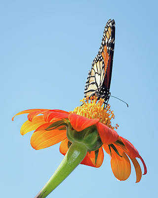 Poster featuring the photograph Monarch I by Dawn Currie