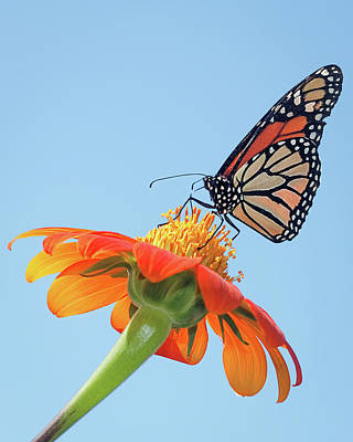 Poster featuring the photograph Monarch II by Dawn Currie