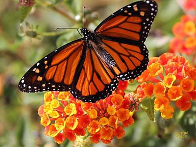 Monarch On 2 Flowers Poster