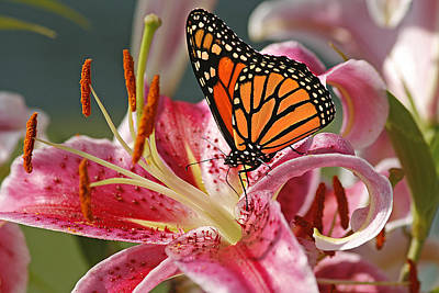 Monarch On A Stargazer Lily Poster