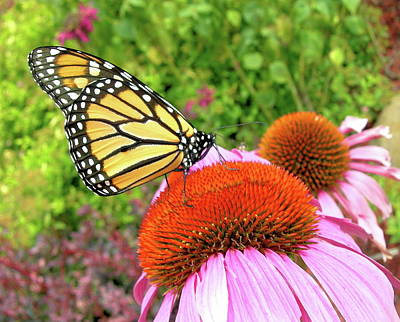 Monarch On Coneflower Poster by Randy Rosenberger