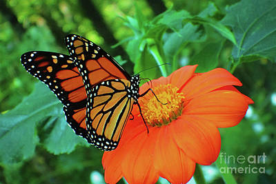 Monarch On Mexican Sunflower Poster