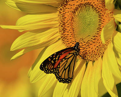 Monarch On Sunflower Poster