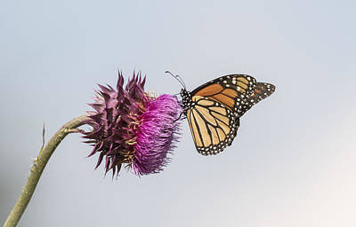 Monarch On Thistle 2015-1 Poster by Thomas Young