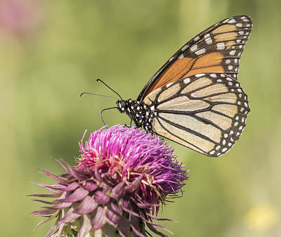 Monarch On Thistle Poster by Thomas Young