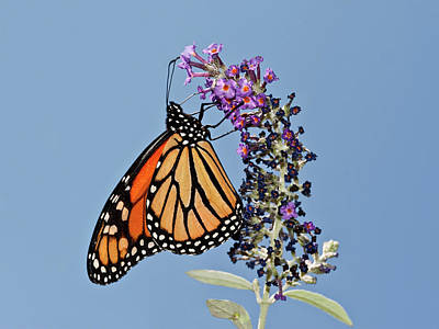 Poster featuring the photograph Monarch Orange And Blue by Lara Ellis