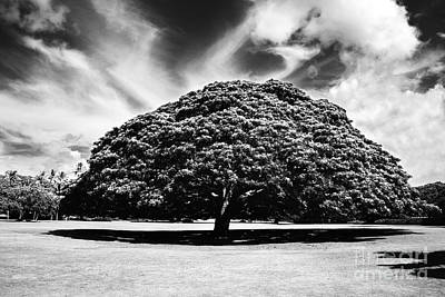 Monkey Pod Tree In Black And White Poster by Charmian Vistaunet