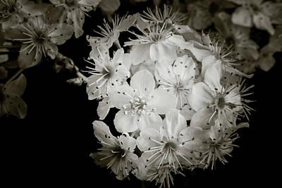Monochrome Wild Plum Blooms 5536.01 Poster