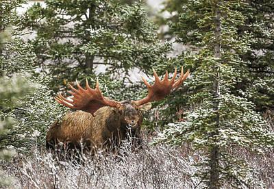 Monster Bull Moose Poster by Sam Amato