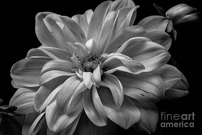 Poster featuring the photograph Moonlit Dahlia by Chris Scroggins