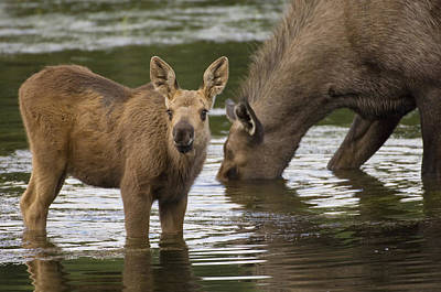Moose Alces Americanus Mother And Calf Poster