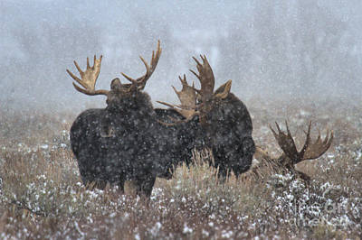 Moose Antlers In The Snow Poster