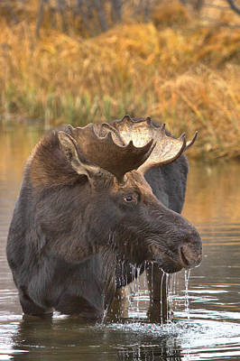 Moose Drool In The Wetlands Poster
