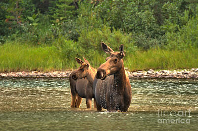 Moose Family On The Lookout Poster