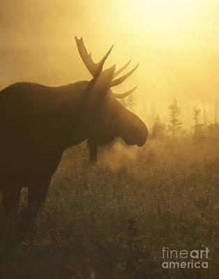 Moose In Mist Poster