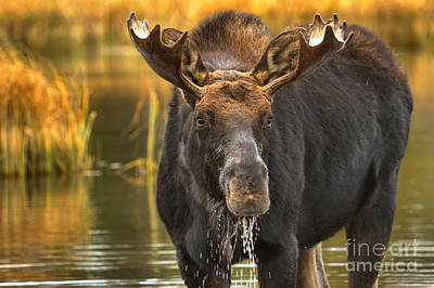 Moose In The Marsh Poster by Adam Jewell