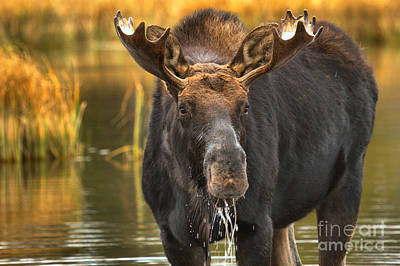 Moose In The Wetlands Poster by Adam Jewell