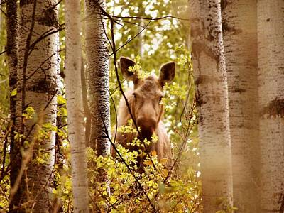 Poster featuring the photograph Moose Peek-a-boo by Adam Owen