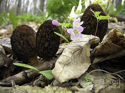 Morels Spring Beauties  And Dutchman's Britches Poster by Teresa A and Preston S Cole Photography