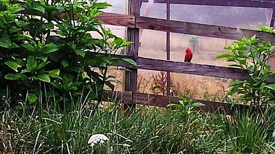 Poster featuring the photograph Morning Cardinal by Deb Martin-Webster