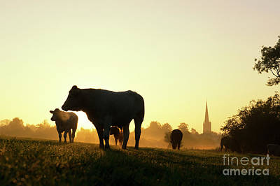 Morning Cows Poster by Tim Gainey