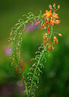 Morning Dew On Orange Flowers Poster by Carol Groenen