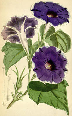 Morning Glory Poster by Joseph Dalton Hooker