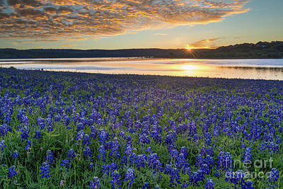 Morning Glow Over Bluebonnets Poster