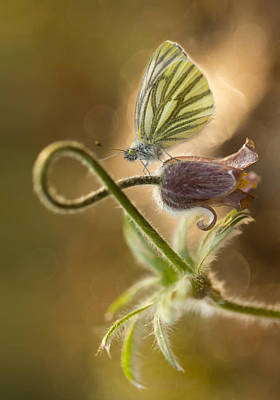 Morning Impression With Pasque Flower And Small Butterfly Poster by Jaroslaw Blaminsky