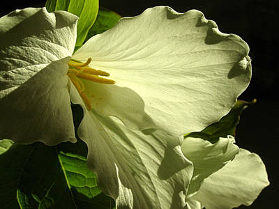 Poster featuring the photograph Morning Light - Trillium by Angie Rea