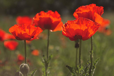 Morning Light In The Poppies Poster by Teri Virbickis