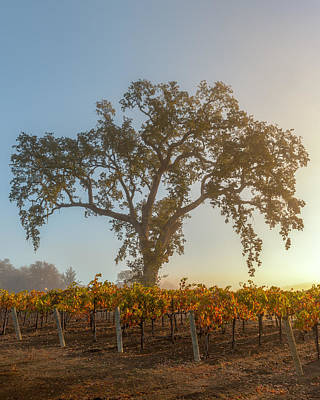 Morning Oak And Vineyard Poster