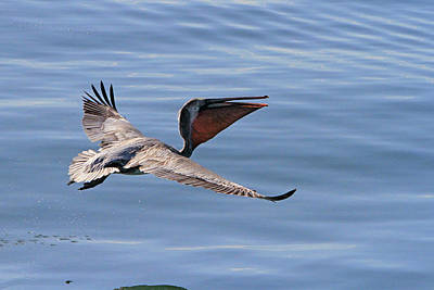 Morning Pelican Poster