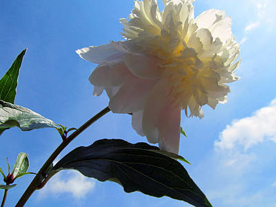Morning Peony Poster