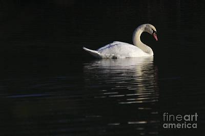 Morning Swan Poster
