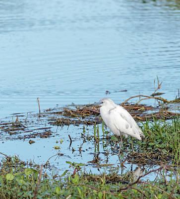 Morphed White Little Blue Heron  Poster by John Tillard