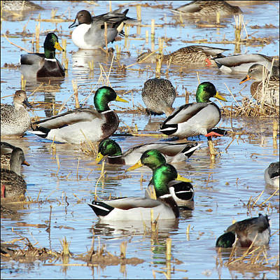 Mostly Mallards Poster