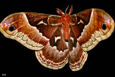 Moth Red Wings Poster by Debra     Vatalaro