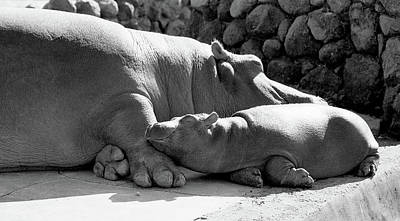 Mother And Baby Hippos Poster